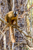 Red-fronted lemur (Eulemur rufifrons) Stock Photos