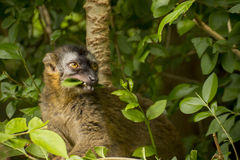 Red Fronted Lemur Royalty Free Stock Image