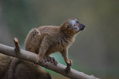 Red Fronted Lemur at the open resort, Magdeburg, Germany Royalty Free Stock Photography