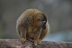Red Fronted Lemur at the open resort, Magdeburg, Germany Stock Image