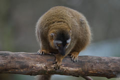 Red Fronted Lemur at the open resort, Magdeburg, Germany Stock Photography
