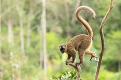 Red-fronted lemur Stock Photos