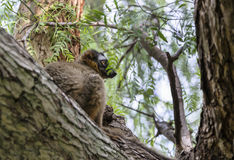 Red Fronted lemur Royalty Free Stock Photography