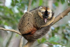 Red-fronted lemur Stock Photography