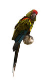 Red-fronted macaw Royalty Free Stock Photo