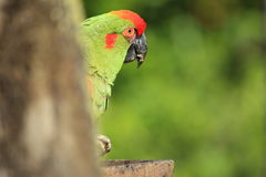 Red-fronted macaw Stock Image