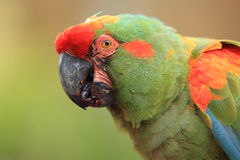 Red-fronted macaw detail Royalty Free Stock Images