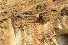 Red-fronted macaw Stock Images
