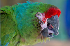 Red Fronted Macaw. A Red Fronted Macaw Closeup royalty free stock images