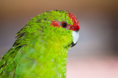Red-fronted parakeet Cyanoramphus novaezelandiae Stock Photos