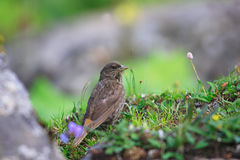 Red-Fronted Rosefinch Royalty Free Stock Photography