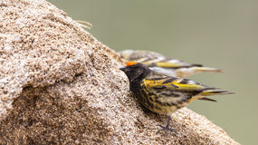 Red-fronted Serin Royalty Free Stock Photography