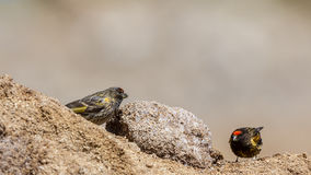 Red-fronted Serin Stock Image