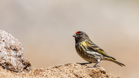 Red-fronted Serin Royalty Free Stock Photos
