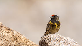 Red-fronted Serin Stock Images