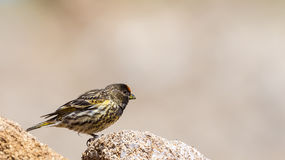 Red-fronted Serin Royalty Free Stock Images