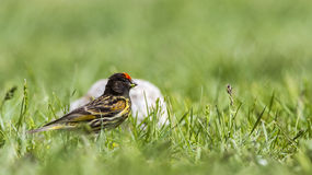 Red-fronted Serin Royalty Free Stock Image