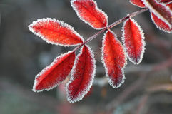 Red frosty leaf Royalty Free Stock Photos