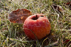 red frozen apple Royalty Free Stock Photo