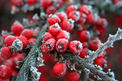 Red frozen berries