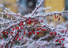 Red frozen berries. Cute red frozen berries on cold a winter morning Stock Images