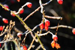 Red frozen rosehip. In the afternoon sun with blurred background Stock Images
