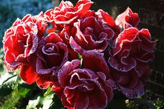 Red frozen roses outside in the winter land stock image