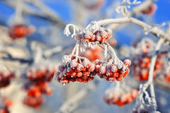 Red frozen Rowan berries covered with white hoarfrost in winter Park Stock Photos