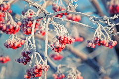Red frozen Rowan berries covered with white hoarfrost in winter Park Royalty Free Stock Image