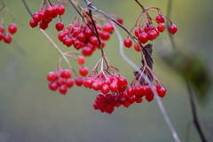 Red fruit. On tree in forest royalty free stock image