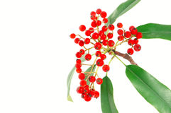 Red fruit. Photinia red fruits and green leaf Royalty Free Stock Image