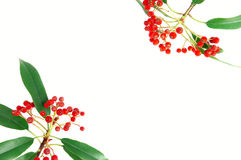 Red fruit. Photinia red fruits and green leaf Stock Photos