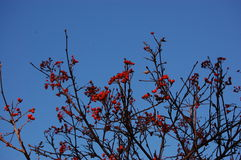Red fruit on bare twig. Red fruit of red chokeberry (Aronia arbutifolia) on bare twig front blue sky Stock Photos