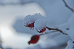 Rose hips covered by snow. This it a red fruit which resists the rigors of winter waiting the arrival of spring. It is so beautiful to see the contrast between Stock Images