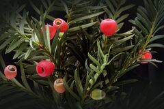 Red Fruit on Green Plants royalty free stock photography