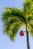 Red Fruit on Palm Tree Under Blue Sky Royalty Free Stock Photos