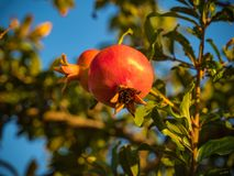 Ripe pomegranate fruit on a tree. Stock Photo