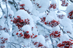 Red fruit with snow Stock Photos