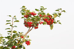 Red fruit on tree Stock Image