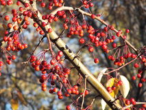 Red fruit on a tree in autumn Royalty Free Stock Image