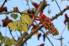 The red fruit on the tree Stock Photography