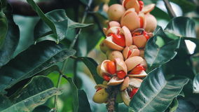 Red Fruit tree stock footage