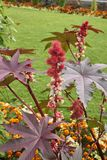 Ricinus communis in bloom. Red fruit and white flowers of Ricinus communis plant stock photography