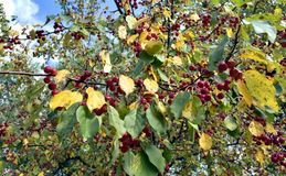 Red fruit on a wild Apple tree. Among autumn colored foliage Stock Image