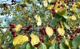 Red fruit on a wild Apple tree. Among autumn colored foliage Stock Photo