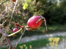 Red fruit of wild rose Royalty Free Stock Images