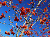 Red fruits. Abundance of the red rowanberry against the blue sky Stock Images