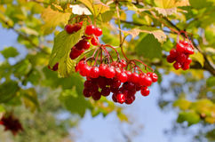 Red fruits in autumn Royalty Free Stock Images