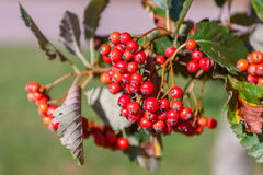Red fruits in autumn scene royalty free stock photo