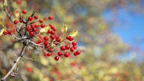 Red fruits. A branch with little red apple Stock Photo